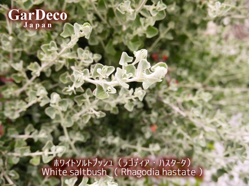 ホワイトソルトブッシュ(ラゴディアハスタータ)の写真・画像
