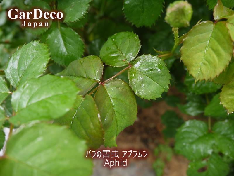 アブラムシの排泄物(甘露)によってべとべとになった薔薇の葉