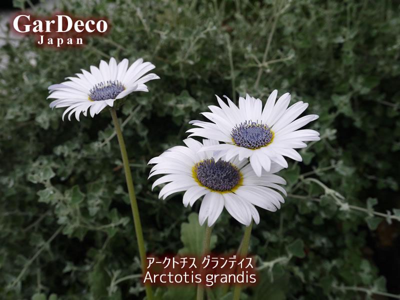 アークトチスグランディスの写真・画像