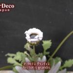 アークトチスグランディスの花持ち(花保ち)日数は?