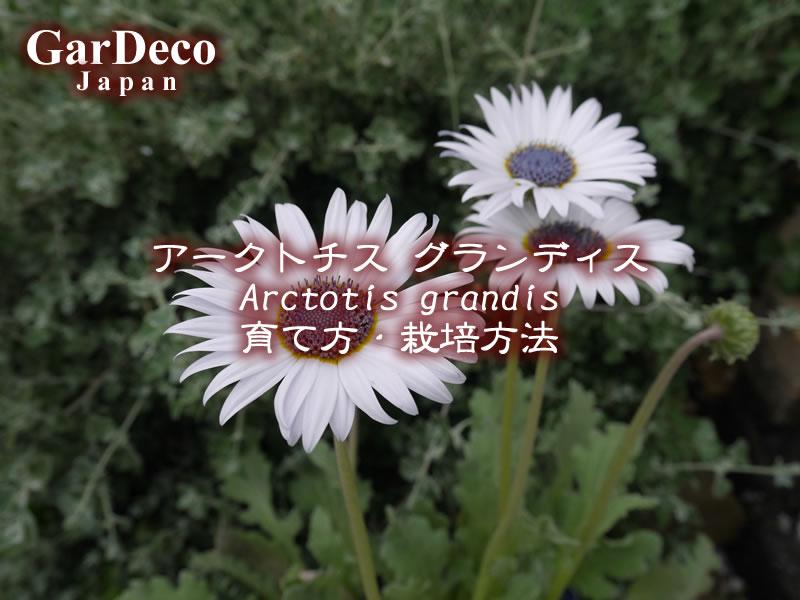 アークトチスグランディスの育て方・栽培方法