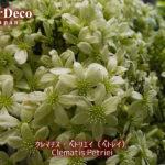 クレマチス・ペトリエイがそろそろ咲き終わり。
