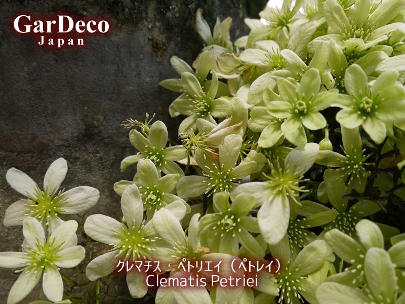 クレマチス・ペトリエイ(ぺトレイ)がほぼ咲き終わり。