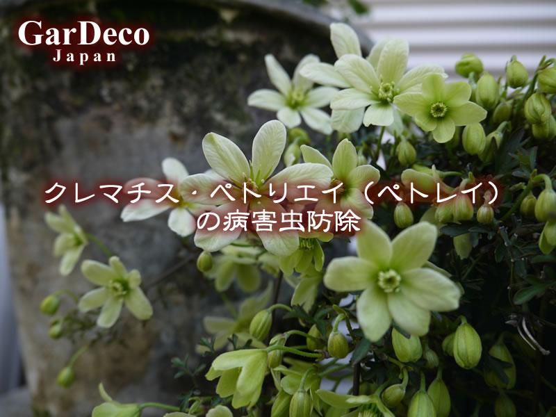 クレマチス・ペトリエイ(ぺトレイ)の病害虫防除