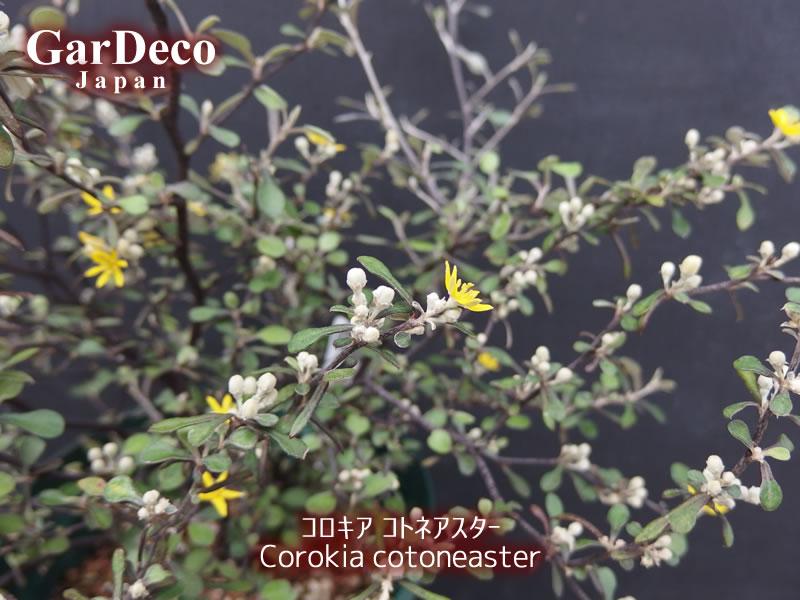コロキア・コトネアスターに咲いた黄色い花