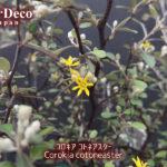 コロキア・コトネアスターに咲いた黄色い花。
