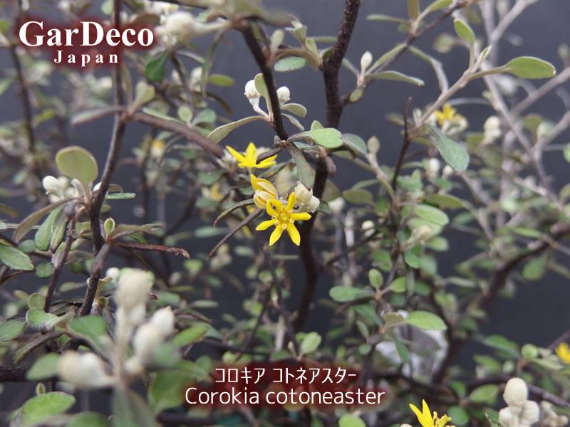 コロキア・コトネアステルの花