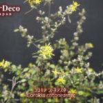 コロキア・コトネアスターが咲き進んで。