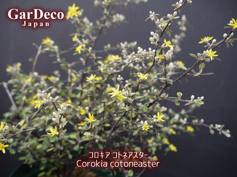 コロキアコトネアステルの写真・画像