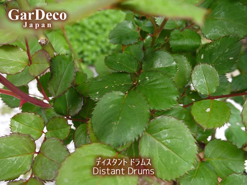 害虫に食べられたディスタントドラムスの葉