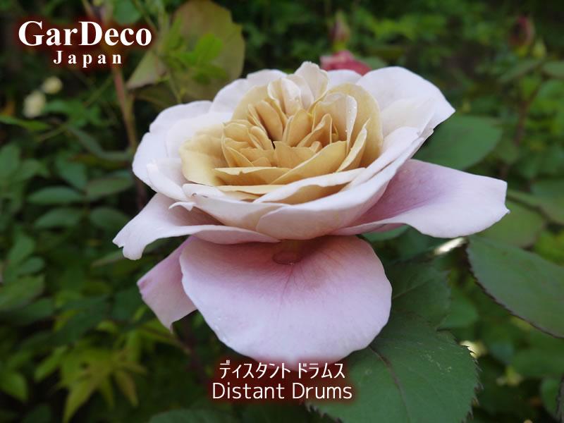 ディスタントドラムスは丸弁平咲きと言われる花形です。