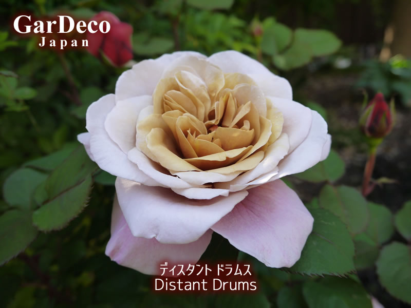 ディスタントドラムス(バラ)2017年の一番花。