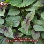 ユーパトリウムチョコレートがシックな銅葉を茂らせて。