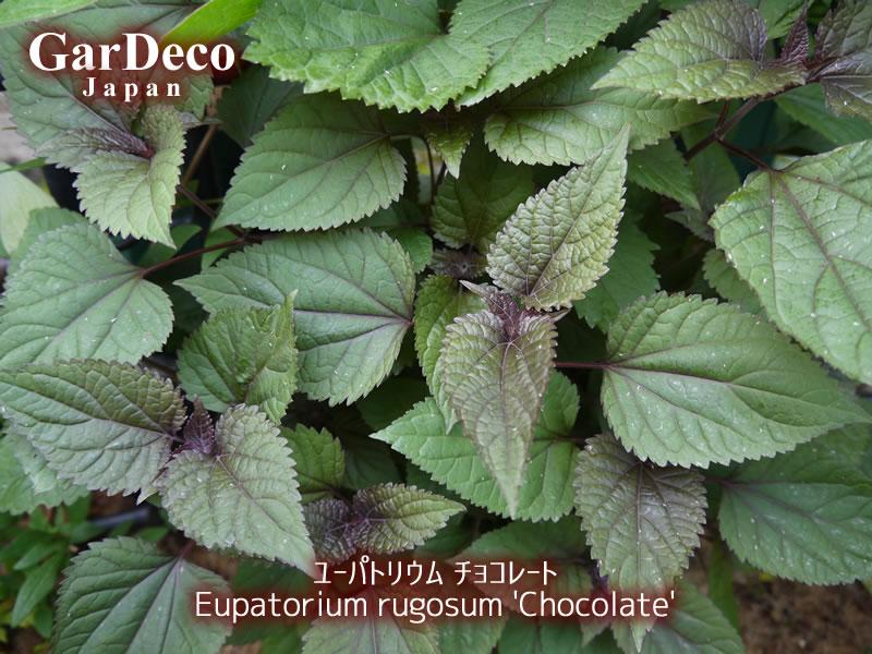 ユーパトリウムチョコレートの写真・画像