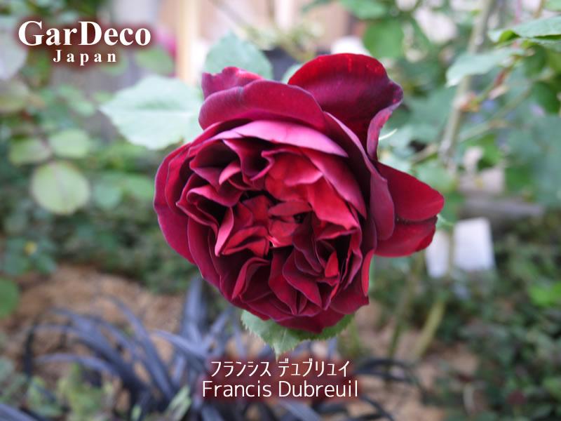 フランシスデュブリュイ2017年の一番花。