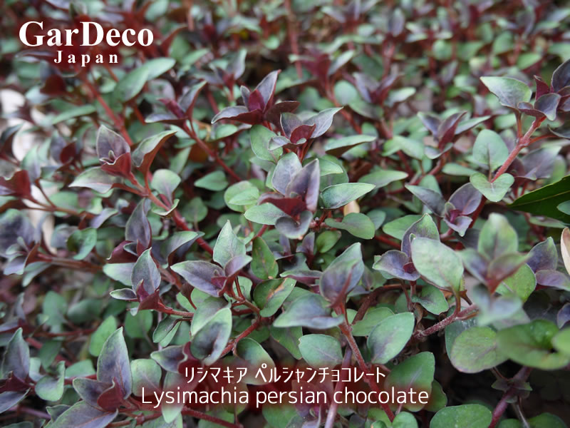 リシマキア・ペルシャンチョコレートの写真・画像