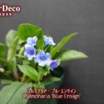 プルモナリア・ブルーエンサインが再び開花。