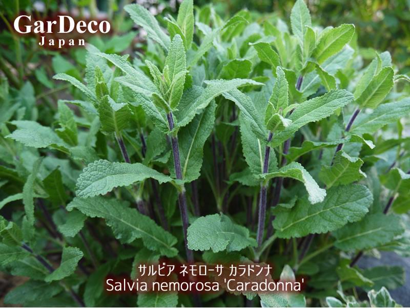 サルビアネモローサカラドンナの茎