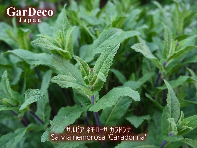 サルビアネモローサカラドンナの花穂。
