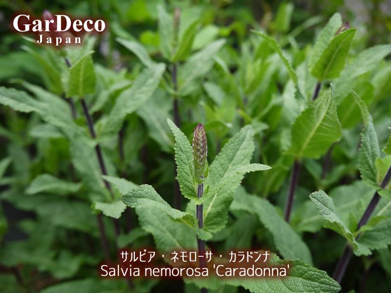 サルビアネモローサカラドンナの花穂が見えてきました。