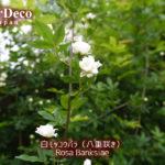白モッコウバラ開花(二年目だとこんなもの…か)。