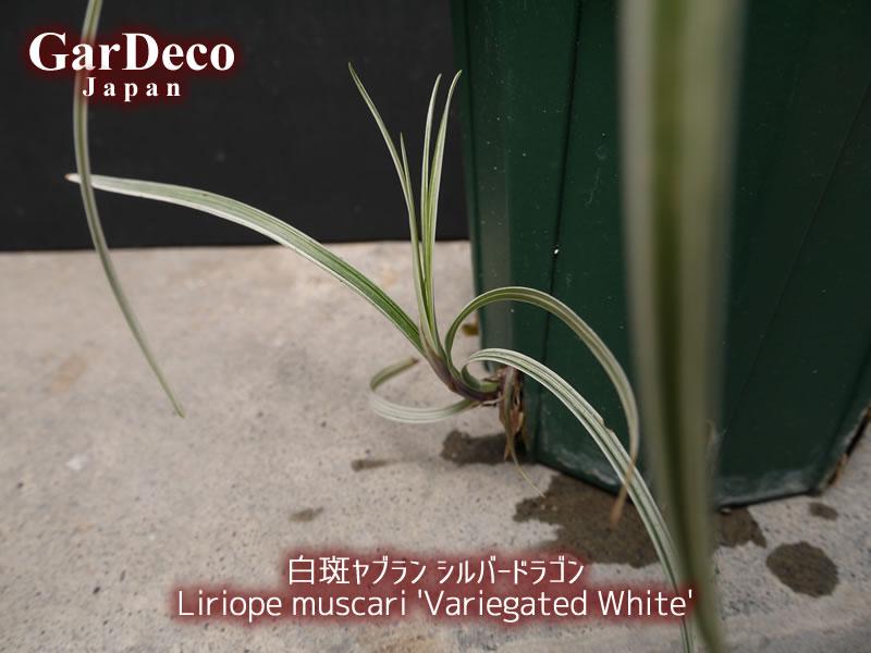 スリット鉢のスリット部分から白斑ヤブラン(シルバードラゴン)が芽吹いてきました…。