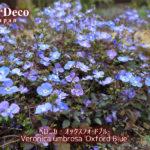 ベロニカ・オックスフォードブルーがほぼ咲き揃いました。