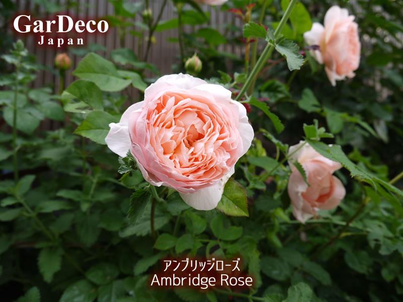 アンブリッジローズの写真・画像