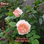 調子の悪いバラの写真を載せるのは気乗りがしないけど…アンブリッジローズ。