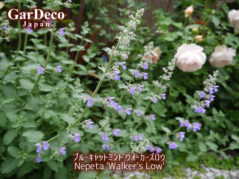 おすすめのシルバーリーフ植物:ブルーキャットミント・ウォーカーズロウ