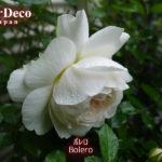 雨に濡れてうつむいて咲くバラ、ボレロ。