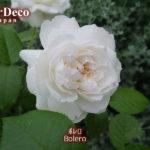 ボレロ(バラ)の一番花、今年は小さめ。