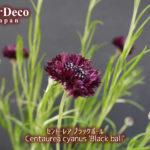 セントーレア・ブラックボールが次々と開花中。