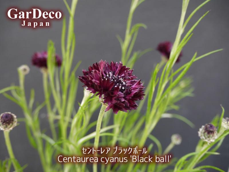 セントーレアブラックボールの写真・画像