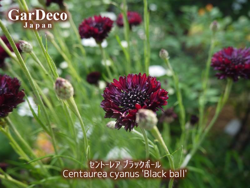 セントーレア・ブラックボールの写真・画像