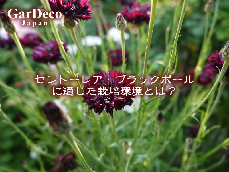 セントーレアブラックボールに適した栽培環境とは?