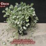 ディコンドラ・シルバーフォールが枝垂れてきて、小さな花が…