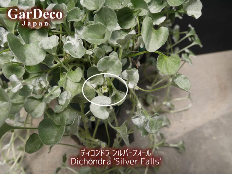 ディコンドラシルバーフォールの花