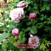 ディスタントドラムス(バラ)が咲き進んできました。
