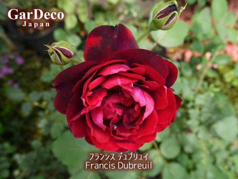 フランシスデュブリュイの写真・画像