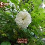 ミニバラ・グリーンアイスがポツリと開花。でもまだまだこれから…!