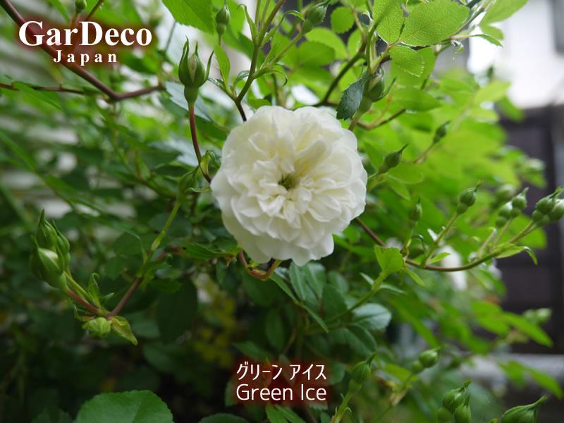 ミニバラ・グリーンアイスがポツリと開花。