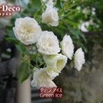 ようやくミニバラ・グリーンアイスが開花。