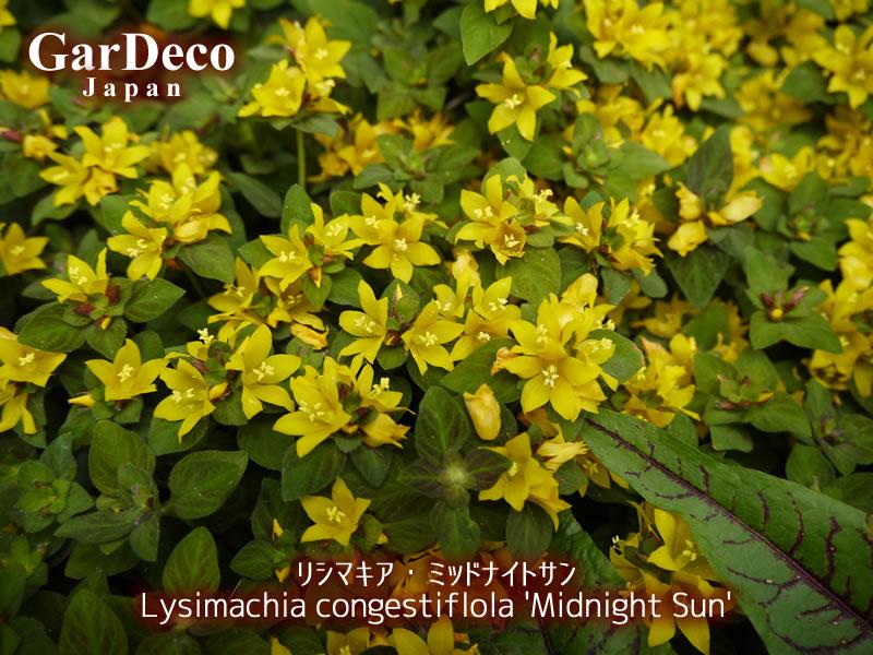 リシマキア・ミッドナイトサンの花写真・画像
