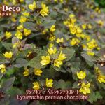 リシマキア・ペルシャンチョコレートに黄色い花が咲きました。