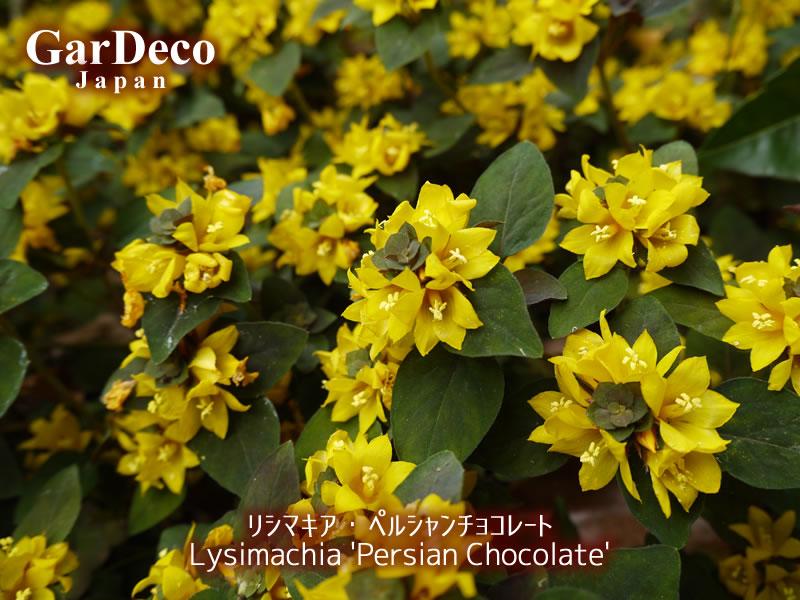 リシマキア・ペルシャンチョコレートの花写真・画像