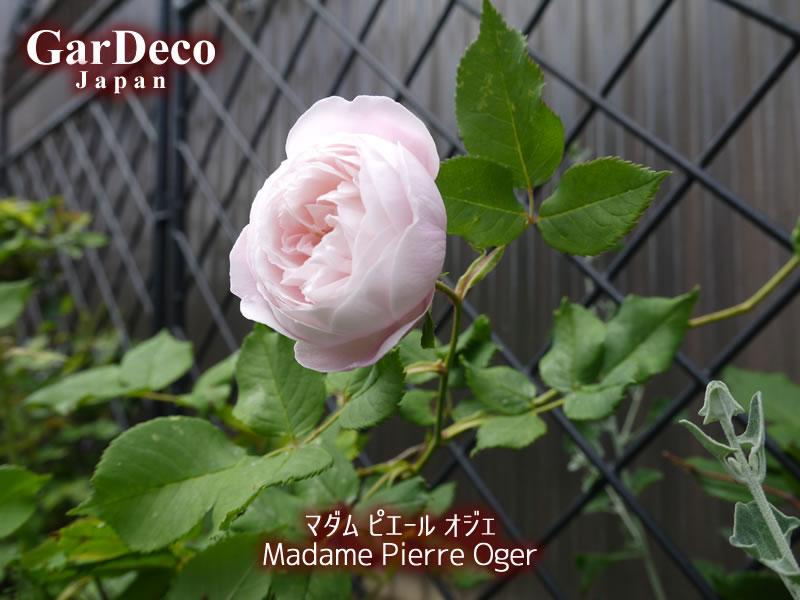 マダムピエールオジェの写真・画像