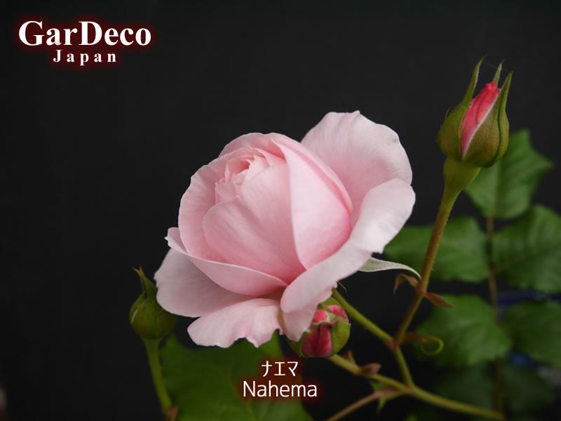 開花間近のバラ・ナエマ(Nahema)