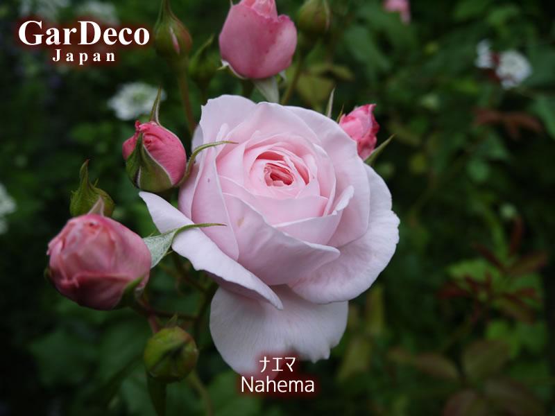 フランス・デルバールの四季咲きつるバラ、ナエマの写真・画像
