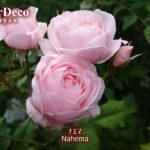 ころころ房咲きのバラ、ナエマ( Nahema )。